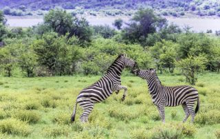 Zebras fighting in the plains